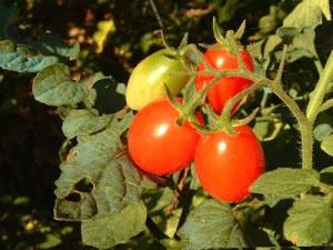 El jítomate o tomate es una planta cuyos frutos son comestibles