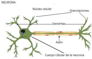 Los componentes de la neurona y sus partes