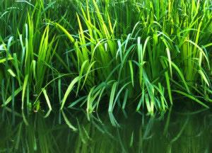 Existe gran variedad de plantas acuáticas que o pertenecen al grupo de las algas marinas o de aguas dulces.