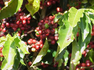 Planta cafeto