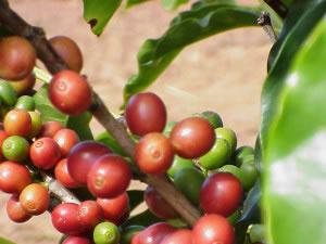Fruto del café