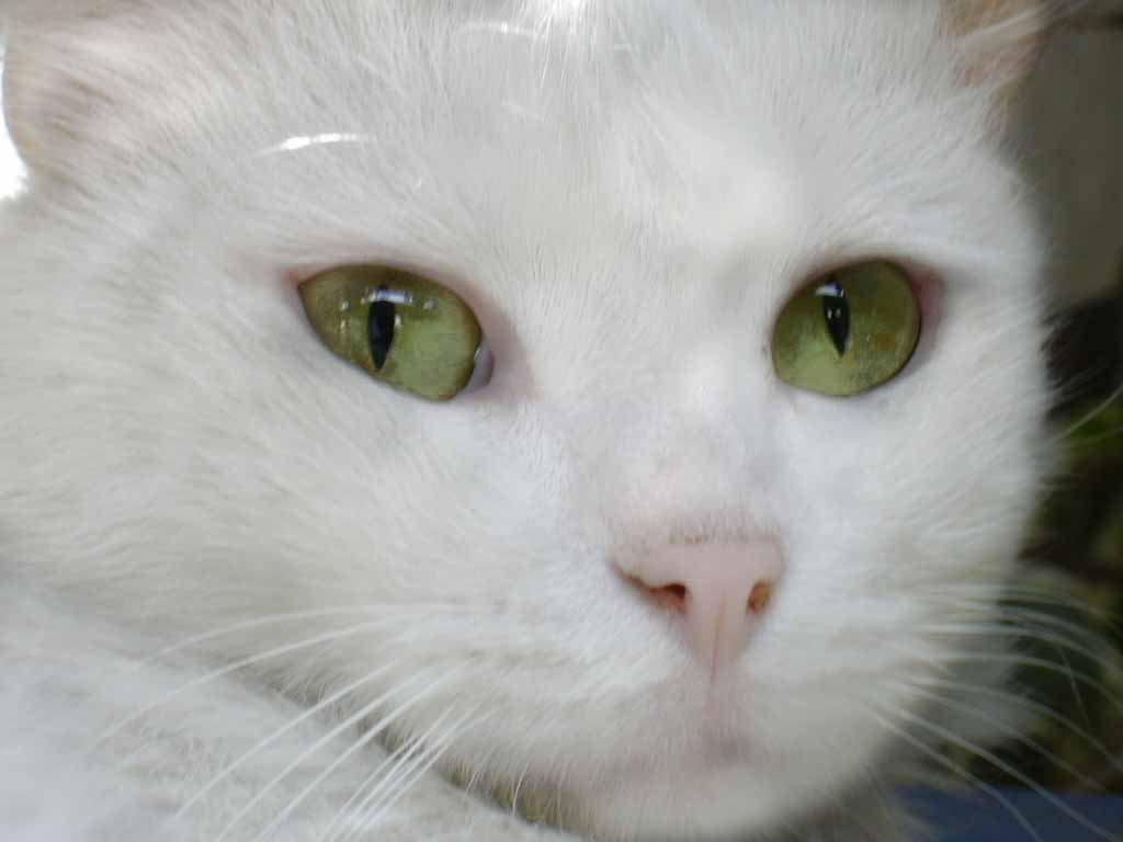 """1a257d00e70a El gato blanco, en esta frase se puede observar que el adjetivo """"blanco"""",  completa el sustantivo de la frase"""