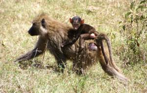 Las crías de los mamíferos dependen de sus madres para alimentarse de leche. En la imagen una cría agarrada de su madre