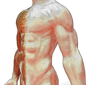 Los músculos se encuentras en todo nuestro cuerpo, justo debajo de la piel