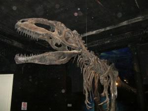 En la actualidad los grandes dinosaurios se encuentran extintos, aunque existen reptiles de gran tamaño emparentados con ellos, como los cocodrilos y los dragones de comodo. (En la foto se puede observar un esqueleto de un dinosaurio bípedo, carnívoro y con cadera del tipo Saurischia o de ave).