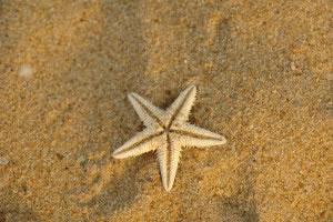 Estrella de mar, reproducción asexual