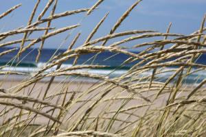 Varias especies de gramíneas usadas como pasto, pueden crecer incluso cerca de las costas, en donde existe una salinidad elevada.
