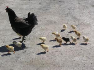 Ganado avícola