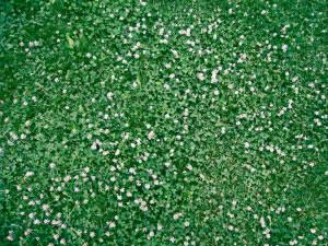 Además de las gramíneas, se usan como pasto leguminosas como la alfalfa y el trébol.