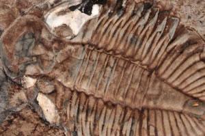 Fósil por impresión