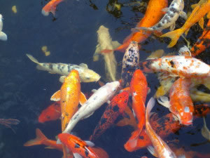 Peces naranjas en estanque