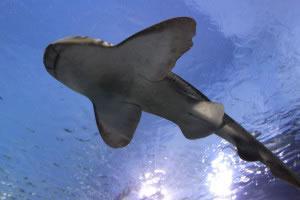 Tiburón visto desde abajo
