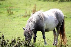 """Las razas de caballos son varias,  se trata de variedades originarias de ciertas zonas, que posteriormente han sido criadas y seleccionadas por el hombre, para """"mejorar"""" ciertas características."""