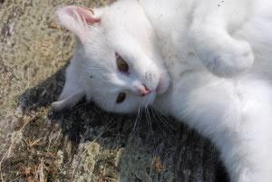 En algunos lugares en donde nieva constantemente, los gatos suelen poseer pelajes claros, para camuflaje en la nieve.