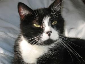 Algunas razas de gatos, presentan coloraciones que fueron influidas por el cruce y selección hecha por el ser humano.