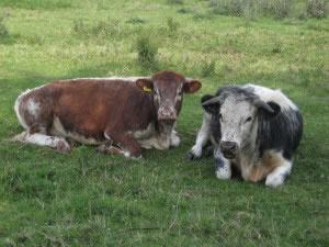 En la actualidad existen varias razas de Bovinos, que presentan características adecuadas  para la producción  lechera, de carne, de piel o para otros usos.