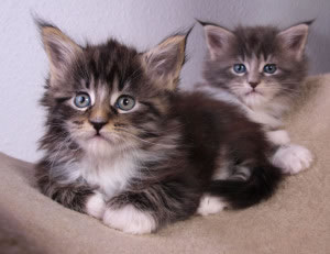 Gatos  con pelaje esponjoso