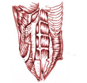La musculatura abdominal pueden ser visibles fácilmente en personas entrenadas o delgadas, se trata de músculos que se agrupan en pares y que cumplen diversas funciones en el movimiento general del tronco, así como  contribuyen en la respiración.