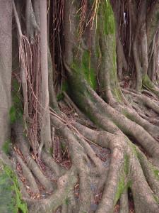 Raíces de árbol por encima de la tierra.