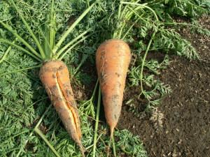 Plantas de zanahoria  con la raíz expuesta.