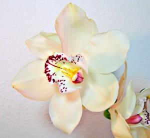 Orquídea Blosom