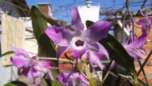 La variedad e intensidad de la coloración en estas planas es muy variada, por lo que suelen ser muy apreciadas para ornato.. En la foto Orquídeas de flores moradas.