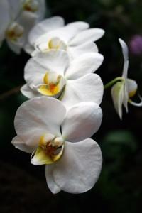 Orquídea pétalos blancos