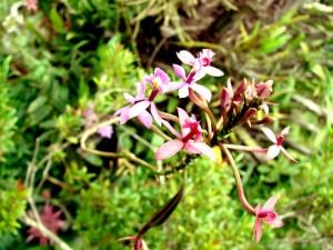 Orquíeda rosa