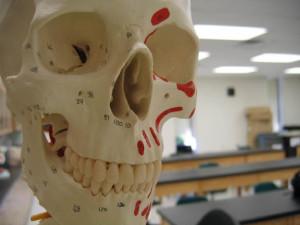 Cráneo humano usado en antropología forense