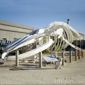 Esqueleto de ballena gris