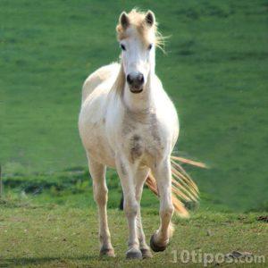 Tipo de caballo: Albino