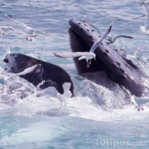 Dos ballenas Mysticeti