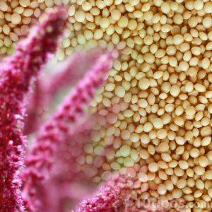 Flor de amaranto con semillas