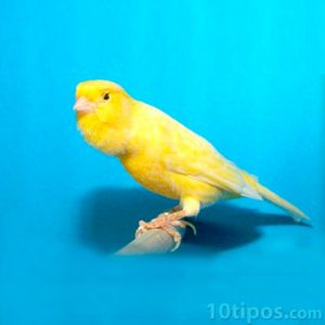 Canario amarillo tipo harzer