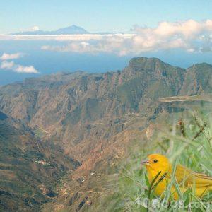 Canario amarillo en las islas canarias