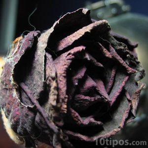Rosa seca de color rojo