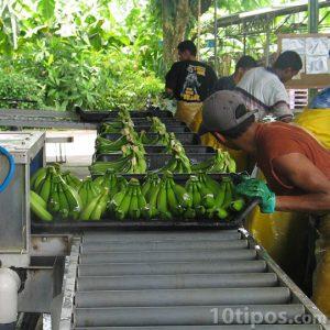 Línea de producción de plátanos