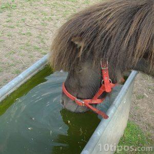 Caballo tomando agua sucia