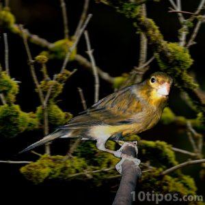 Canario en ramas manchado