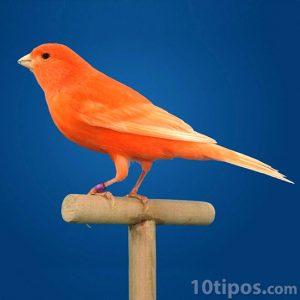 Canario de color rojo
