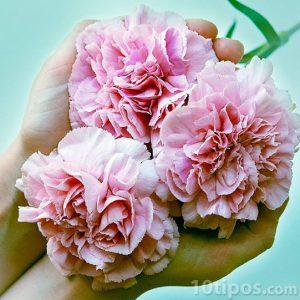 Tres claveles de color rosa