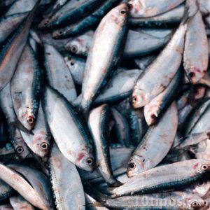 Pescados listo para su venta