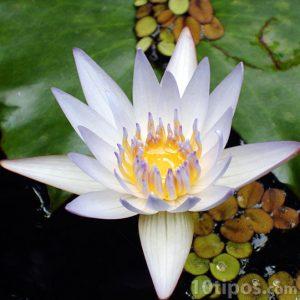 Flor de loto flotando en agua