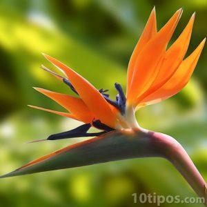 Flor ave del paraíso
