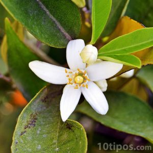 Flor de Jazmín de color blanco