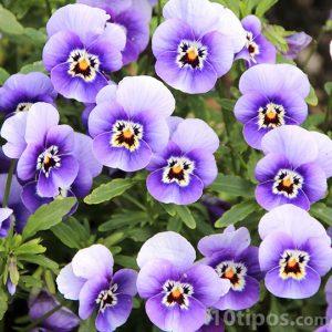 Flores de color violeta y blanco