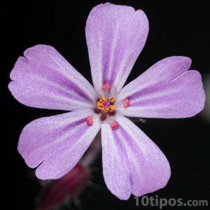 Flor de cinco pétalos de color violeta