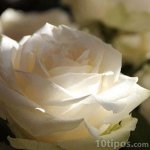 Rosa de color blanca