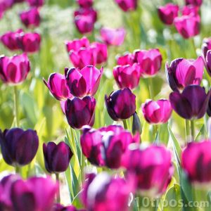 Tulipanes de color violeta
