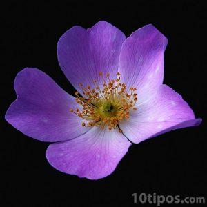Acercamiento de flor de cinco pétalos